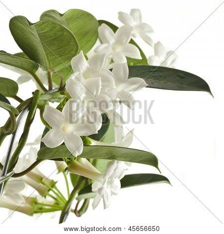 Jasmine Stephanotis plant isolated on a white background