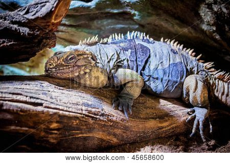 Rhinoceros Iguana (Cyclura cornuta) on the wooden branch