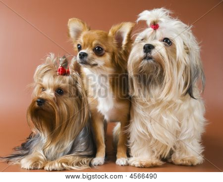 Dog Of Breed Yorkshire Terrier, Chihuahua And Lap-dog