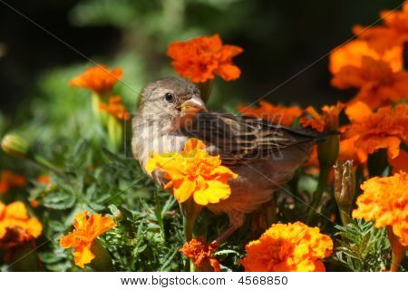 Small sparrow looking for food amid flowers poster