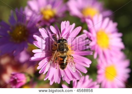 Honey bee on a flower of pink chrysanthemum poster