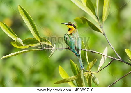 A Little Bee-Eater Perched on a branch preening poster