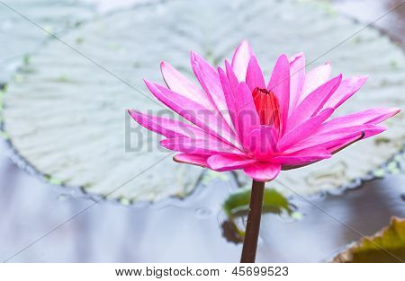 Pink Lotus Flower Blooming