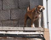 barking growling pit bull over an unfinished construction poster