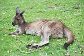 native australian kangaroo lying and resting on the grass poster