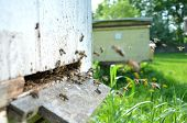 Plenty of bees at the entrance of beehive in apiary in the springtime poster