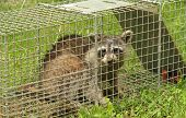 Raccoon Procyon lotor in an animal trap poster