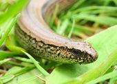 The Slow Worm or Blind Worm (Anguis fragilis).  These lizards are often mistaken for snakes. In gardens help remove pest insects. Close up with shallow DOF. poster