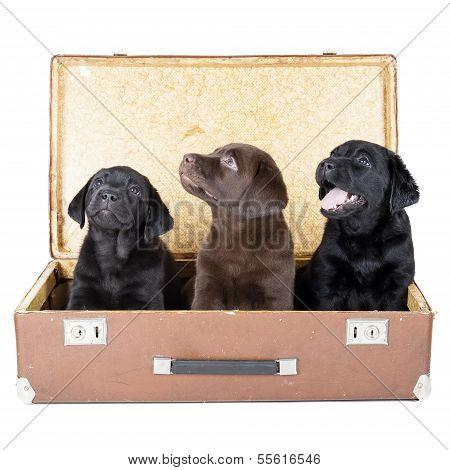 Three Labrador Puppy In Suitcase