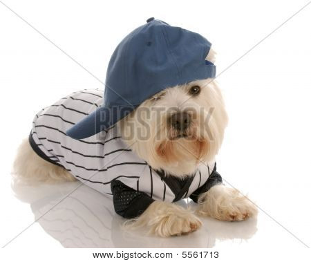 Westie Dressed As Baseball Player