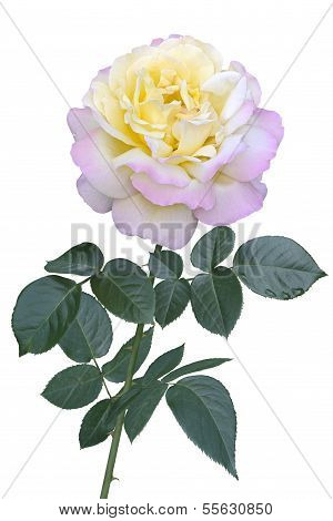 Rose Gloria Day Isolated