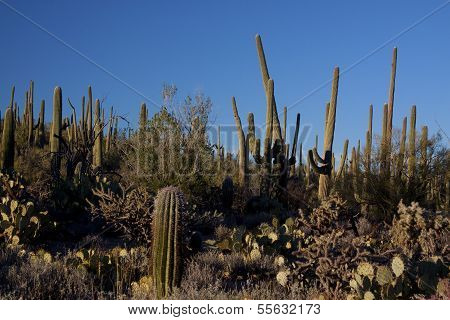 Saguaros of Tucson Arizona