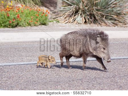 Javalina mom and two baby pigs