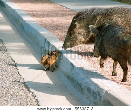 Wild Javalinas and their babies
