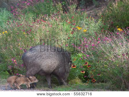 Javalina mom and babies foraging in garden
