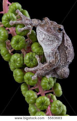 Gray Tree Frog On Poke Weed