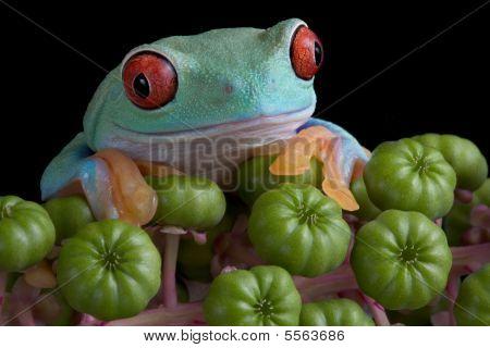 Red-eyed Tree Frog On Poke Weed