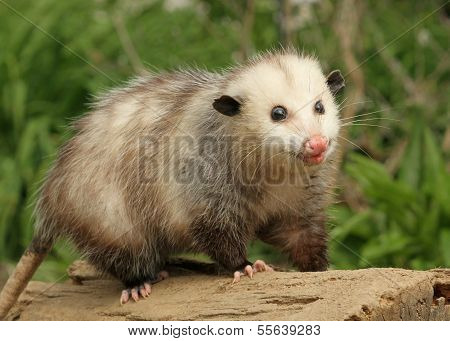 A Young opossum