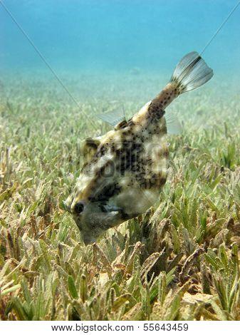 Thornback boxfish