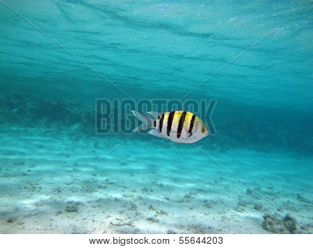 Lone damselfish
