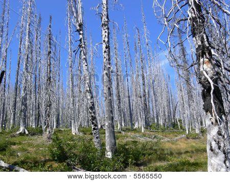 Burnedforest