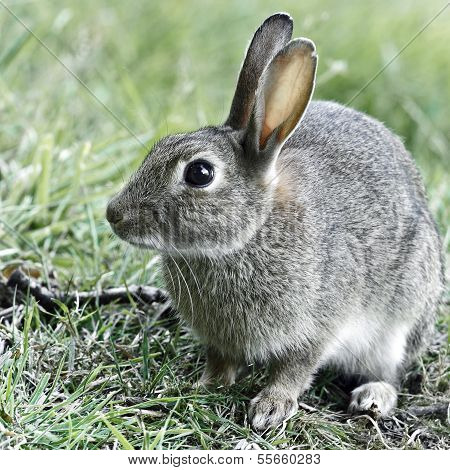 A portrait of a young wild Rabbit (Oryctolagus cuniculus).