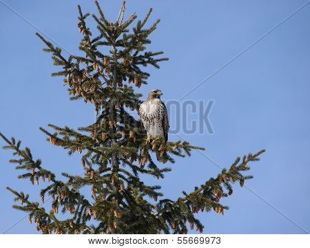Red-tailed Hawk in Evergreen Tree