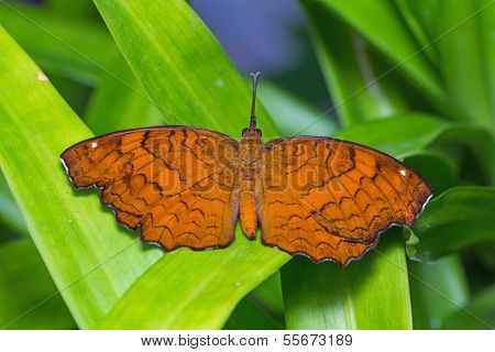 Close up of backside of Angled Castor (Ariadne ariadne) butterfly perching on green leaves poster