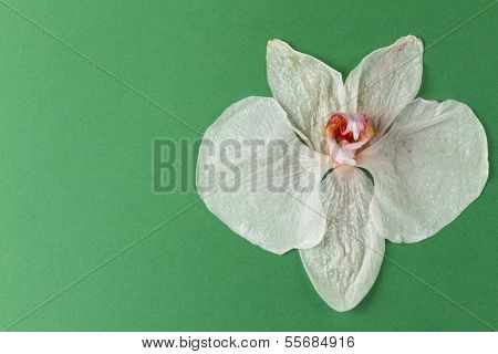 Wilted Orchid