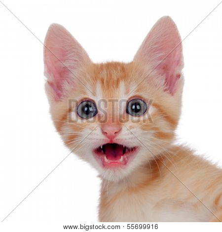 Funny brown kitty meowing isolated on a white background