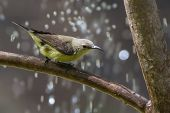A Female Beautiful Sunbird (Nectarinia pulchella) with water droplets poster