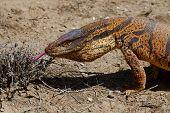 Monitor Lizard (Varanus griseus) in Kyzyl Kum desert Uzbekistan poster