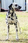 A young beautiful Dalmatian dog standing on the grass distinctive for its white and black spots on its coat and for being alert active and an intelligent breed. poster