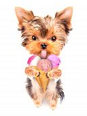 puppy dog licking with ice cream isolated on white poster