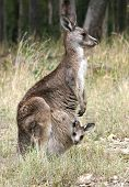 young kangaroo peeking at you from mother kangaroo pouch poster