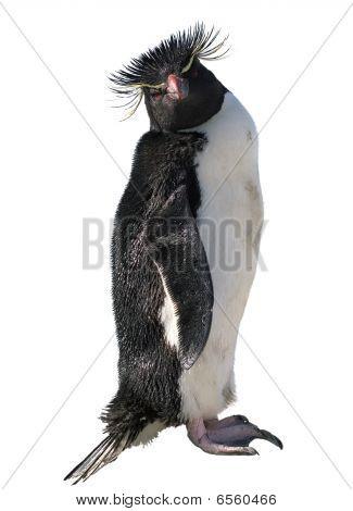 Isolated Macaroni Penguin