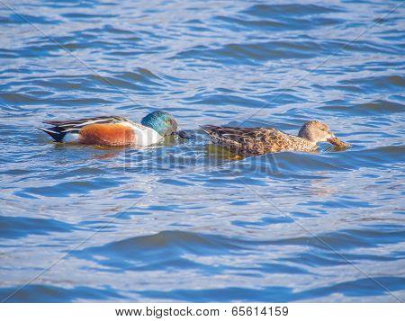Couple of Shoveler on the blue lake