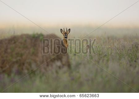 Buck deer in the morning mist, in the wild poster