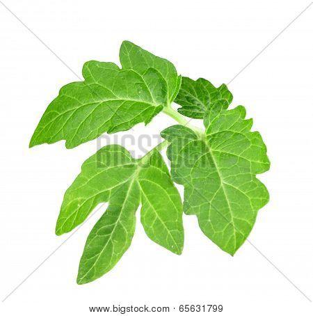Leaf Of Tomato