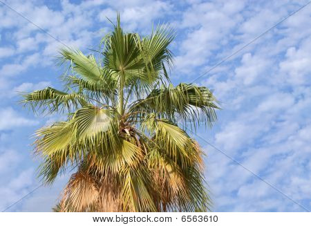 Desert Palm tree