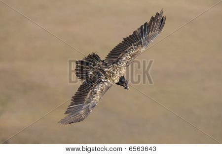 Juvenile Lammergeyer or Bearded Vulture (Gypaetus barbatus) in flight looking for prey in South Africa poster