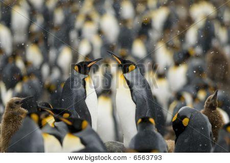 King Penguin paar In den Massen