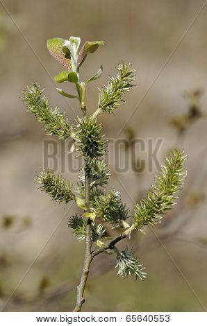 Goat Willow - Salix Caprea