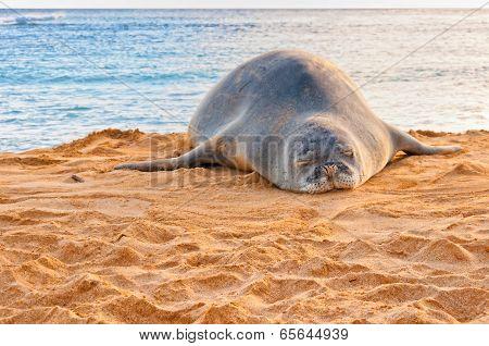Monk Seal in Kauai, Hawaii