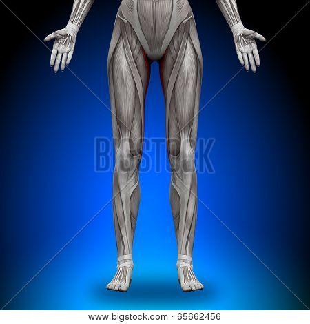 Gracilis - Female Anatomy Muscles
