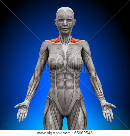 Trapezius Front / Neck Muscles - Female Anatomy Muscles