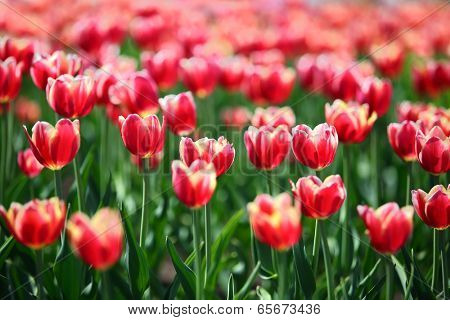 blooming red tulips with white border varieties of Leen van der Mark - shallow depth of field  poster