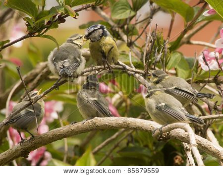 Blue Tit with Fledgling Chicks