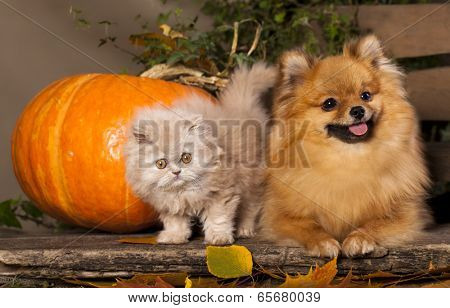 kitten persian and pomeranian spitz