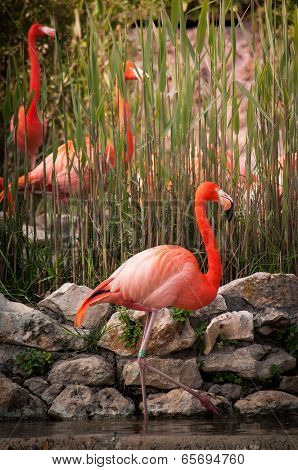 The Flamingos or Flamingoes in Lisbon Zoo (Portugal) poster